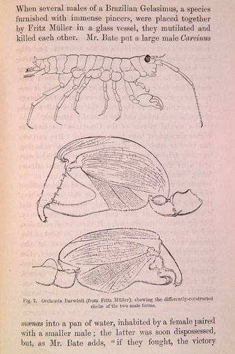 Orchestia Darwinii from Darwin's The Descent of Man (1871) (University of Bristol Library, Special Collections).