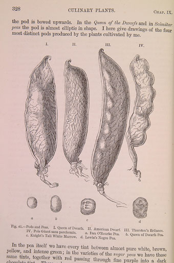 Peas and pods from Darwin's The Variation of Animals and Plants Under Domestication (1868) (University of Bristol Library, Special Collections).