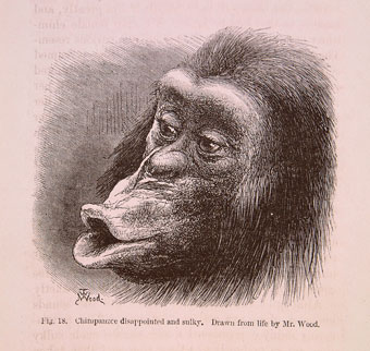 Sulky chimp from Darwin's The Expression of the Emotions in Man and Animals (1872) (University of Bristol Library, Special Collections).