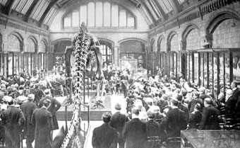 Presentation of the first replica diplodocus to the trustees of the British Museum of Natural History, May 12, 1905 (Wikipedia).