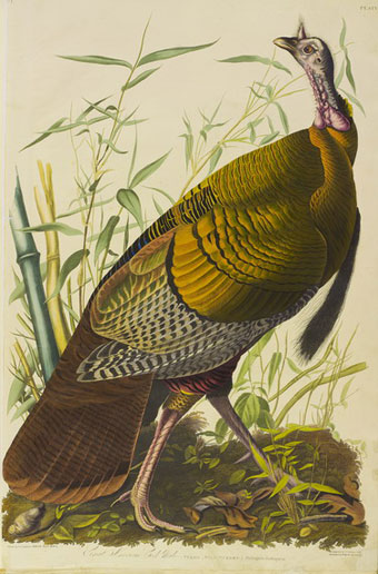 Wild turkey from John James Audobon's Birds of America (1839) ((Mitchell Library, Special Collections, Glasgow).